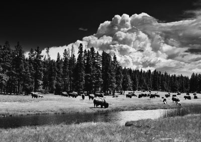 Yellowstone National Park, WY- Nez Perce Creek, Buffalo, Edition 2/5