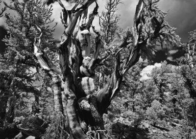 Great Basin National Park - Bristle Cone Pine